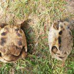 Griech. männl. Schildkröte vermisst seit 18.8.2019. Größe: 16 cm lang. Unterseite aufgeraut nicht glatt.
