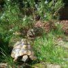 4 weibliche Griechische Landschildkröten THB geb.17.07.2004 u. 22.07.2004 HB geb. 17
