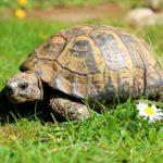 Adulte griechische Landschildkröte Th zu verkaufen