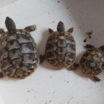 Biete Griechische Landschildkröten NZ 2019/20