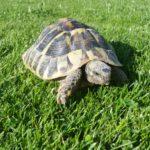 Drei Landschildkröten