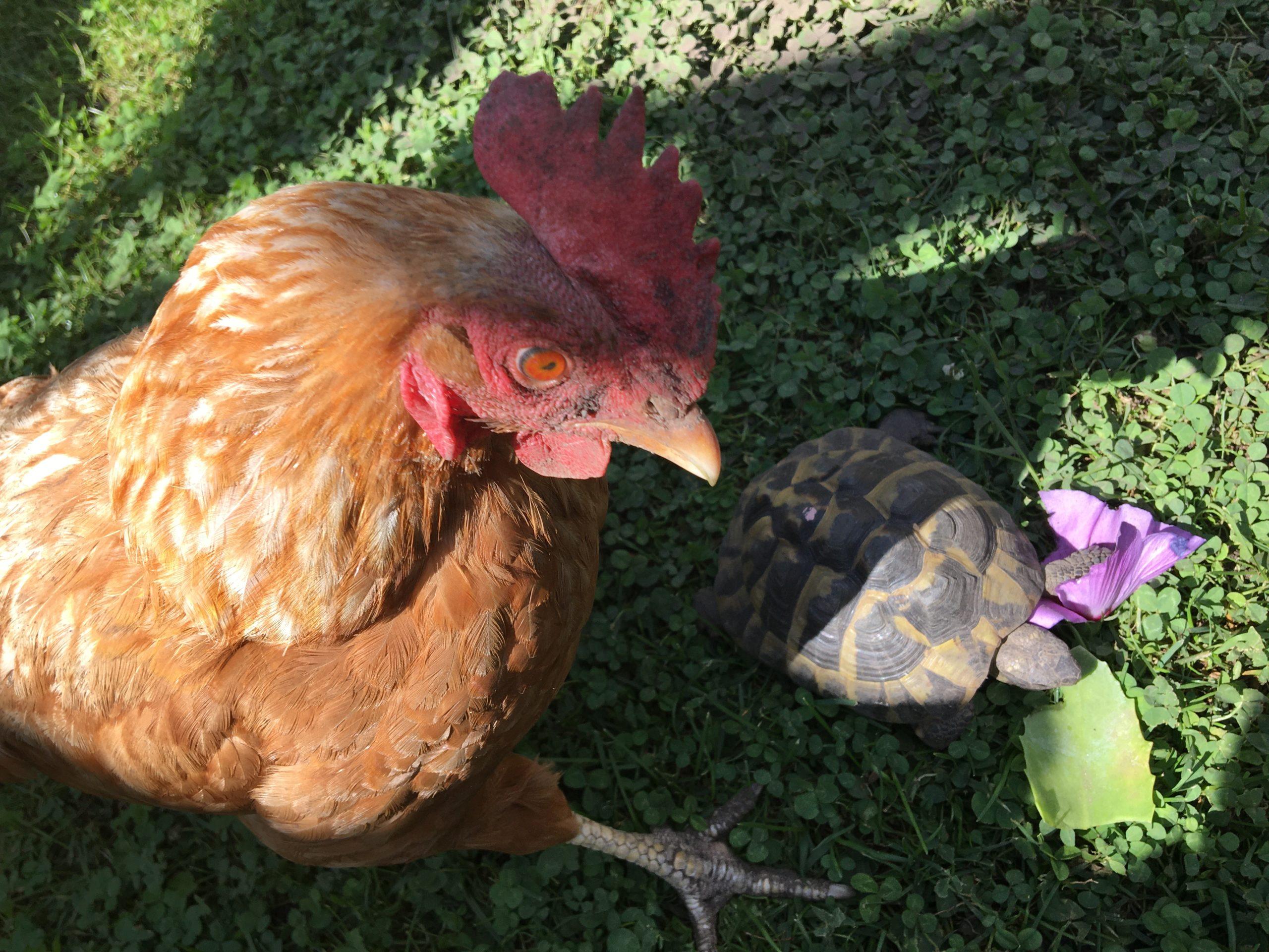 Griechische Landschildkröte Olaf mit Henne Dotti