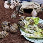 Europäische Landschildkröten NZ 2020