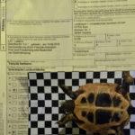 Griechische Landschildkröte NZ 2019 - männlich - mit Papieren - vom Züchter