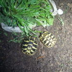 Griechische Landschildkröten Geschwisterpaar NZ 2020 zu verkaufen