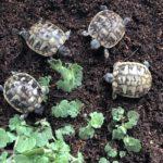 Griechische Landschildkröten NZ2020 aus verantwortungsvoller Hobbyzucht