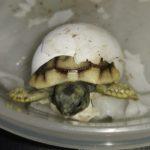 Griechische Landschildkröten (THB) NZ aus 2020 zu verkaufen