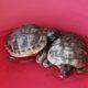 """Griechichische Landschildkröten """"ich hab dich so lieb"""""""