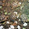 NZ 20 Testudo marginata Breitrandschildkröte
