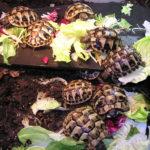 Nachzuchten Griechische Landschildkröten 2020