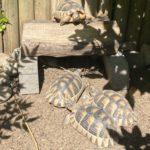Prächtiges Breitrandschildkröten-Männchen NZ 2015 abzugeben