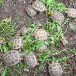 Verkaufe Steppenschildkröten