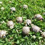 Junge griechische Landschildkröten Testudo hermanni NZ von 2020 zu verkaufen