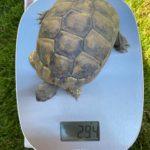 Drei Griechische Landschildkröten in Dornbirn vermisst