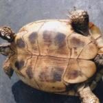 Adulte Griechische boettgeri Schildkröten Zuchtgruppe abzugeben