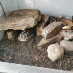 Griechische Landschildkröten 2 Stück