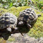 2 Männliche Griechische Landschildkröten abzugeben