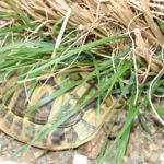 2 griechische Landschildkröten 2008