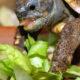 Griechische landschildkröte 4 Jahre alt