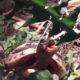 """Griechische Babyschildkröte """"Schiggy"""" beim fressen"""