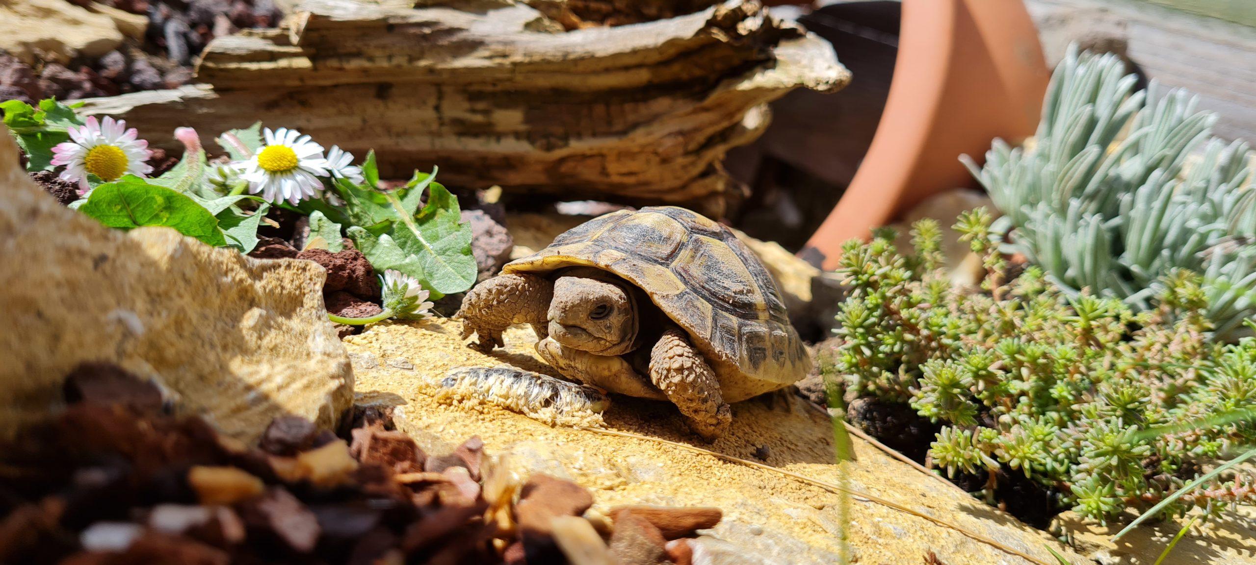 Griechische Landschildkröte noch etwas schmutzig nach dem Winterschlaf