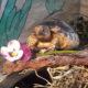 Griechische Babyschildkröte beim fressen