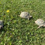 3 Griechische Landschildkröten, GJ 2016 zu verkaufen