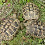 3 Griechische Landschildkröten suchen neues Zuhause