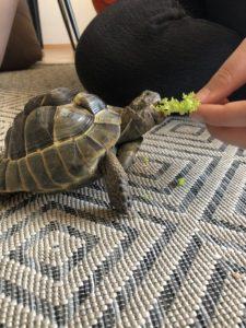 Maurische Landschildkröte Willy genießt deinen Salat