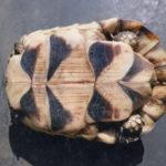 Adulte Breitrand marginata Schildkröten Zuchtpaar abzugeben