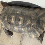 Breitrandschildkröte abzugeben