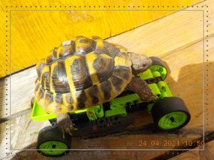 Picsie liebt schnelle Autos!!! Griechische Landschildkröte 6 Jahre