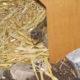 Griechische Landschildkröte Picasso hat noch nicht ausgeschlafen