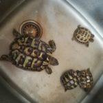 Griechische Landschildkröte Nachzucht vom 24.08.2020