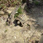 Griechische Landschildkröte (männlich) NZ 2009 zu verkaufen
