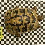 Griechische Landschildkröten 3 Stück von 2015 zu verkaufen