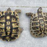 Griechische Landschildkröten Mann (nz 2009) und Frau (Nz 2014)