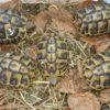 Griechische Landschildkröten NZ 18-19-20