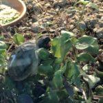 Griechische Landschildkröten NZ 20 zu verkaufen