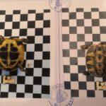 Griechische Landschildkröten NZ 2017 bis NZ 2019 zu verkaufen