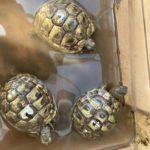 Griechische Landschildkröten NZ 2018, 2019, 2020 zu verkaufen
