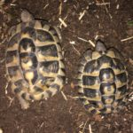 Griechische Landschildkröten, Paar, adult, mit Handicap