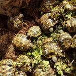 Griechische Landschildkröten THB Nachzuchten 2020 wunderschöne Farbgebung