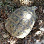 Griechische Landschildkröten von 2011 und 2013 zu verkaufen