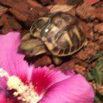 Griechische Landschildkrötenbabies NZ2020 abzugeben