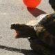 Griechische Landschildkröte Stella ist sooooo müde