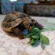 Griechische Landschildkröte Leonardo frisst Fetthenne