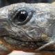 Wer schaut denn da ? Griechische Landschildkröte Picsie 6 Jahre