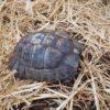 Zwei maurische Schildkröten zu verkaufen