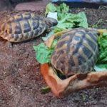 2 Griechische Landschildkröten NZ 2017 zu verkaufen